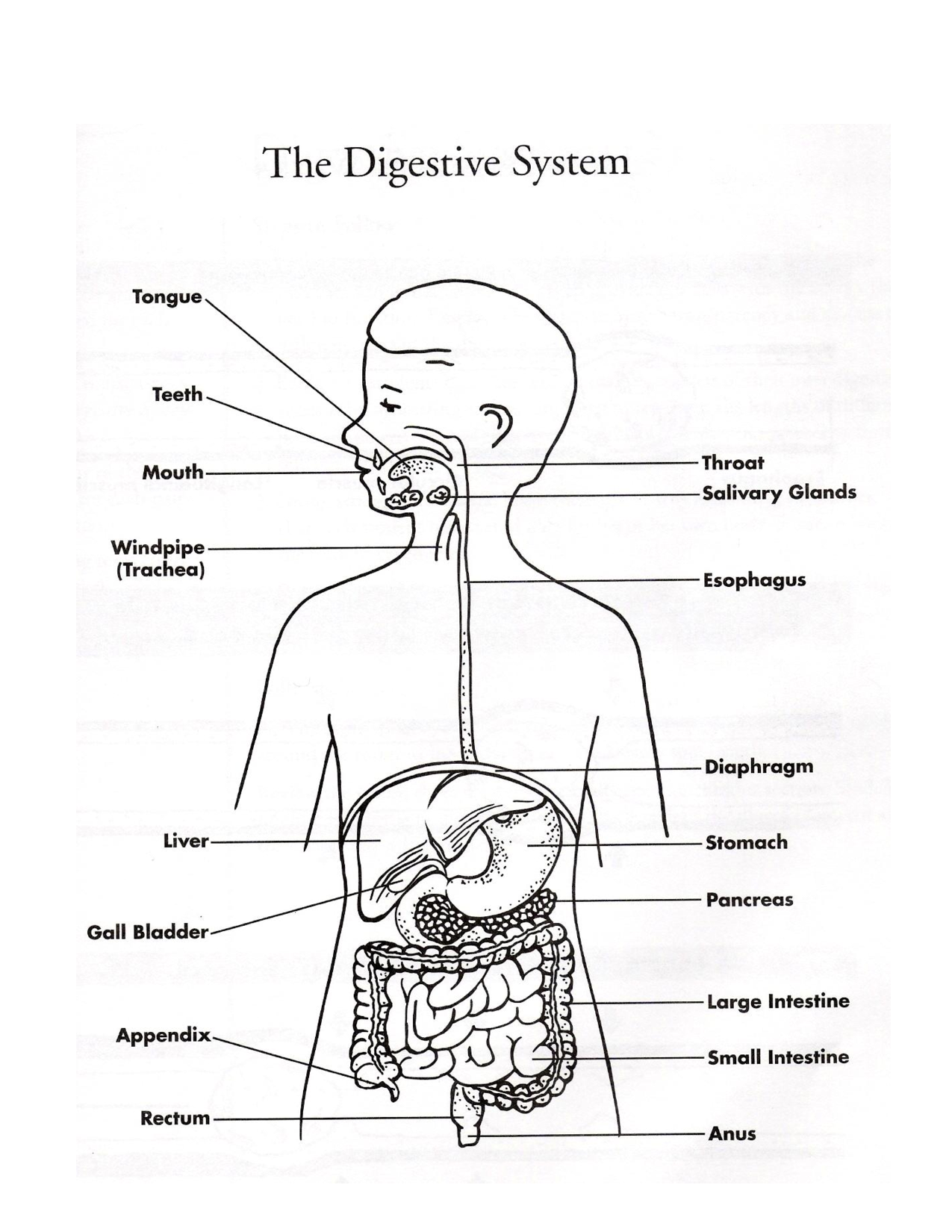 Simple Digestive System Diagram Living systems resources